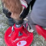 A miniature's hoof is much different in care and repair than a full sized horse - I am experienced Miniature Hoof Care Specialists HOVAKUTEN Angela Savoia